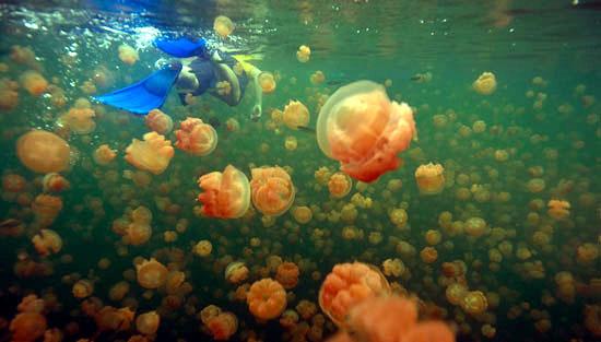 Jellyfish-Lake5
